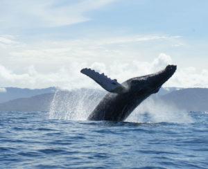 Solano Bay - Whale Watching Plan - Choco Colombia - Bahia Solano-whales-yubartas-tourism-travel