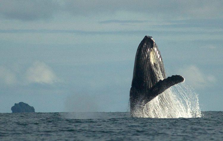 Ballenas Jorobadas - Nuqui Choco - Pacifico Colombiano - Planes Turísticos - ColombiaTours