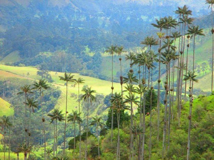 Wax palms and ride Cocora Valley in Colombia. Romantic-cabin-Valle-Del-Cocora-Palma-de-wax-Salento-Quindio-Colombia