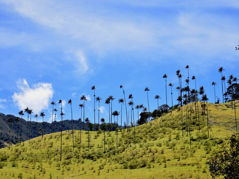 Cabalgata Valle de Cocora, refugio natural del árbol nacional en Colombia, Palma de Cera. Salento, Quindio. cabaña-romántica-valle-del-cocora-palma-de-cera-colombia - Plan Paisaje Cultural Cafetero