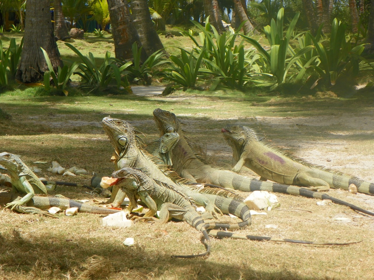 Iguanas - Johnny Cay Tour - Colombia - ColombiaTours.Travel - San Andres Islands