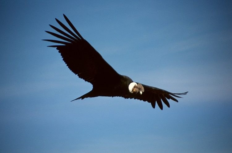 Condor of the Andes