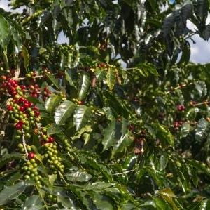 Axis Coffee Tour Guide - Colombia Travel Guide - Coffee Cultural Landscape